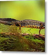 Great Crested Newt Or Water Dragon Metal Print