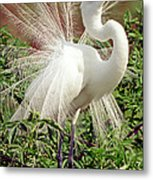 Great Egret Courtship Display Metal Print