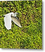 Great Egret Flying Over Rapti River In Chitwan Np-nepal Metal Print