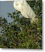 Great Egret In A Tree Metal Print
