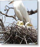 Great Egret Nest With Chicks And Mama Metal Print