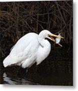 Great Egret With Big Fish Metal Print