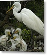 Great Egret With Young Metal Print