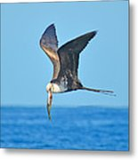 Great Frigate Bird Metal Print