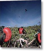 Great Frigatebird Males In Courtship Metal Print