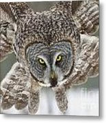 Great Gray Owl Pictures 648 Metal Print