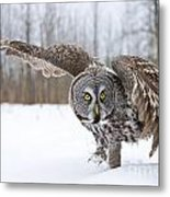 Great Gray Owl Pictures 658 Metal Print