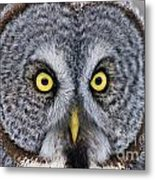 Great Gray Owl Pictures 680 Metal Print