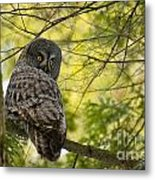 Great Gray Owl Pictures 779 Metal Print