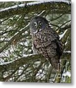 Great Gray Owl Pictures 780 Metal Print