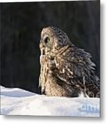 Great Gray Owl Pictures 788 Metal Print