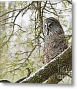 Great Gray Owl Pictures 804 Metal Print