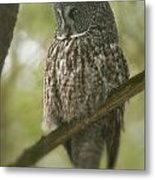 Great Gray Owl Pictures 823 Metal Print