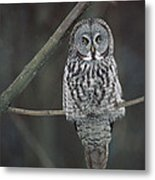 Great Gray Owl Portrait North America Metal Print
