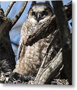 Great Horned Owlet Finishes Lunch Metal Print
