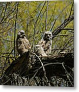 Great Horned Owlets 1 Metal Print