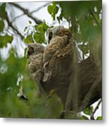 Great Horned Owlets 5 20 2011 Metal Print