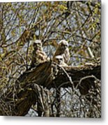 Great Horned Owlets Photo Metal Print