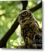 Great Horned Youngster Metal Print