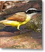Great Kiskadee Metal Print