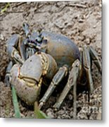 Great Land Crab Metal Print