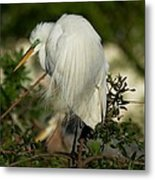 Great Egret Takes A Stance Metal Print