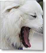 Great Pyrnesse Feelin A Little Tired Metal Print