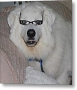 Great Pyrnesse Relaxing With His New Reading Glasses Metal Print