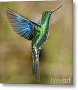 Great Sapphirewing Hummingbird Metal Print