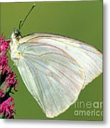 Great Southern White Butterfly Metal Print