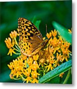 Great Spangled Fritillarie Ins 77 Metal Print