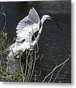 Great White Egret Building A Nest V Metal Print