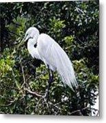 Great White Egret Building A Nest Viii Metal Print