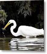 Great White Egret Eating Fish 2 Metal Print