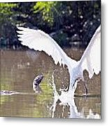 Great White Egret Fishing Sequence 2 Metal Print