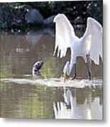 Great White Egret Fishing Sequence 4 Metal Print