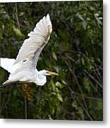 Great White Egret Flying 1 Metal Print