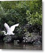Great White Egret Flying 3 Metal Print
