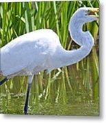 Great White Egret In Horicon Marsh Metal Print
