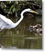 Great White Egret Looking For Fish 1 Metal Print