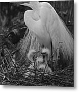 Great White Egret Mom And Chicks In Black Ans White Metal Print
