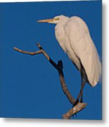 Great White Egret On A Snag Metal Print