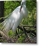 Great White Egret Primping Metal Print