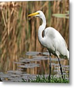 Great White Egret Taking A Stroll Metal Print