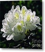 Great White Rhododendron Metal Print