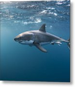 Great White Shark At The Surface Metal Print
