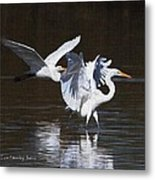 Greater Egrets Meet Up  Metal Print