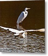Greater Egrets Meeting Up Metal Print