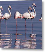 Greater Flamingo Group Metal Print
