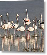 Greater Flamingos At Laguna De La Fuente De Piedra Metal Print